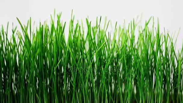 Klíčící klíčky pšenice na bílém pozadí