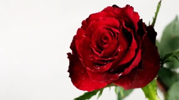 Fresh red rose on Valentine Day