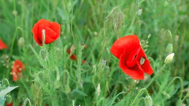 Flowering poppies in the field