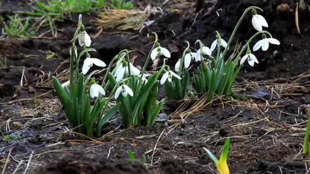 Snowdrops gently sways flower heads from the wind
