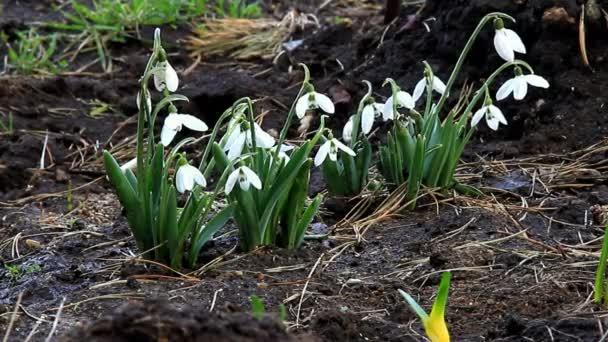 Sněženky, jemně houpe květina hlavy před větrem