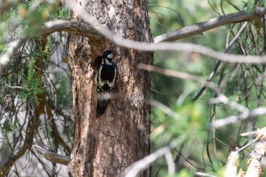 A woodpecker flew in to feed its chicks. A woodpecker sits on the trunk of a tree near a hollow.