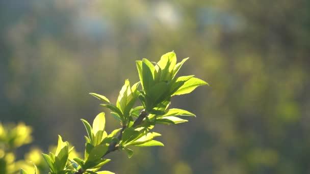 Mladé něžné listy na větvi stromu v jarním období. Večerní podsvícení. Selektivní zaměření