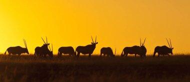 A herd of Gemsbok (Oryx gazella) at sunset in Damaraland in Namibia stock vector