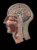 Vintage anatomie Model lidské hlavy