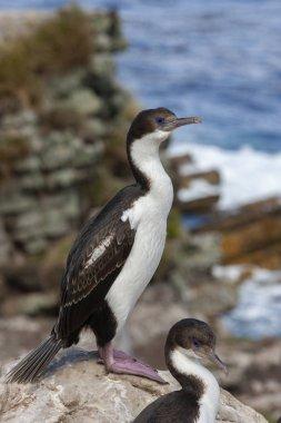 Blue Eyed Comorants - Falkland Islands