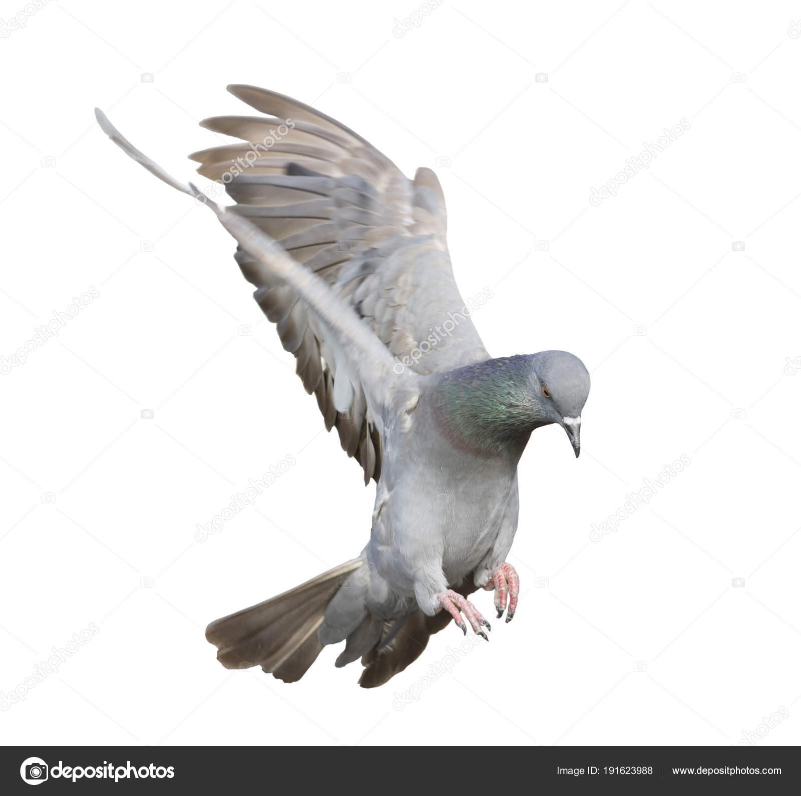 Vuelos de fondo palomas mensajeras