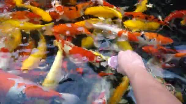 Koi ryb pod vodou. Ozdobný kapr s barevné v přírodním rybníku, koupání