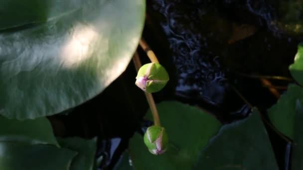 Čas zanikla otevření leknín nebo Lotosový květ v přírodní rybník