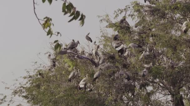 Asijské Openbill (Anastomus oscitans) a mnoho ptáků na strom s hnízdem a dítě ve slow-motion