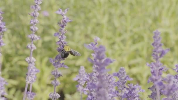 Bumble bee és levendula virágok kert lassítva