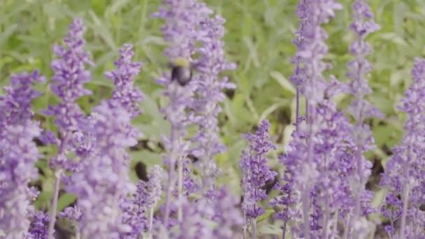 Hummeln und Lavendelblüten im Garten in Zeitlupe