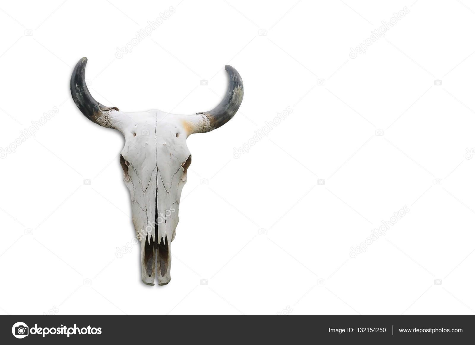 Schädel Knochen Kopf Kuh auf weißem Hintergrund — Stockfoto ...