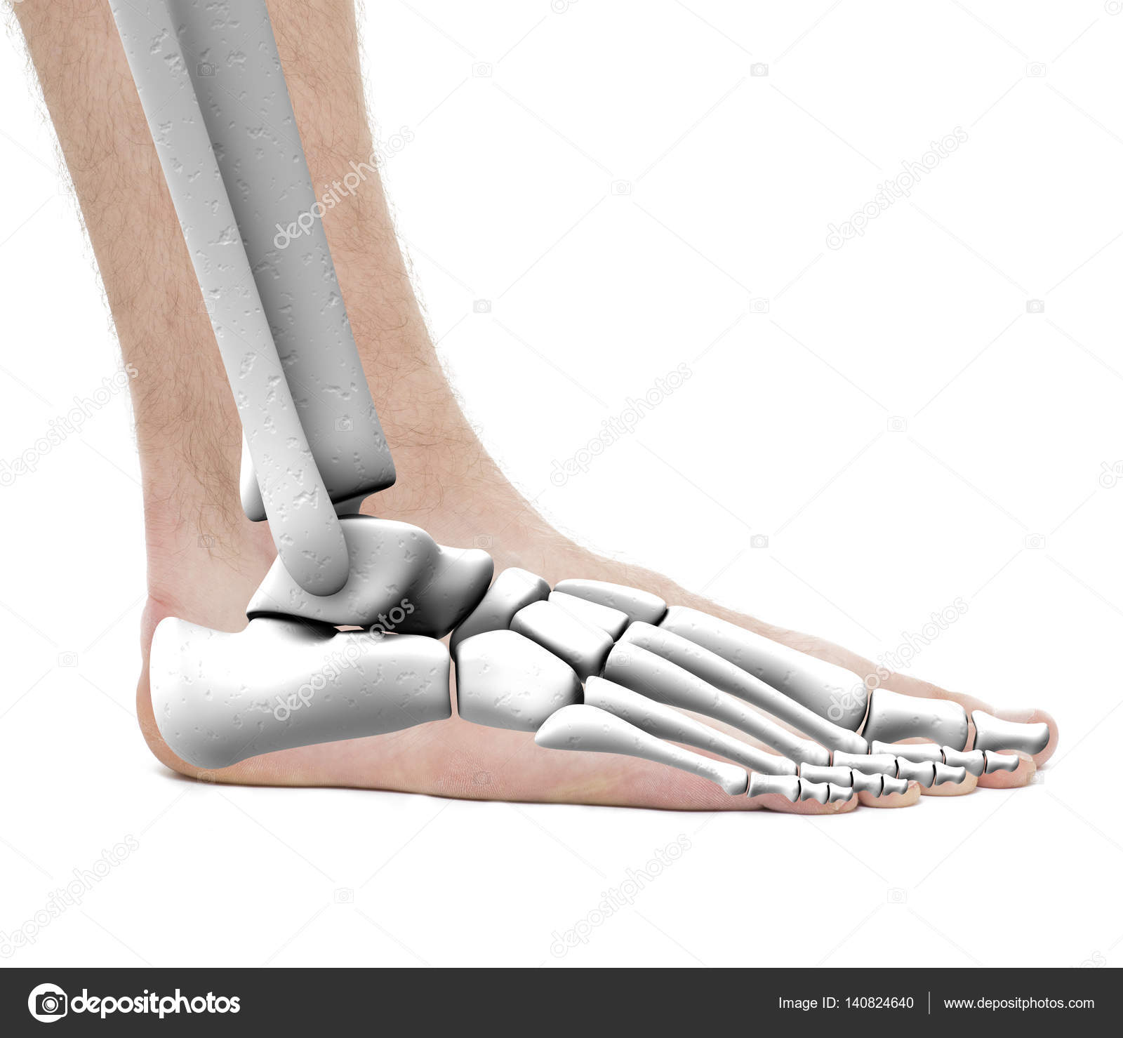 Foot Ankle Bones - Anatomy Male - Studio photo isolated on white ...