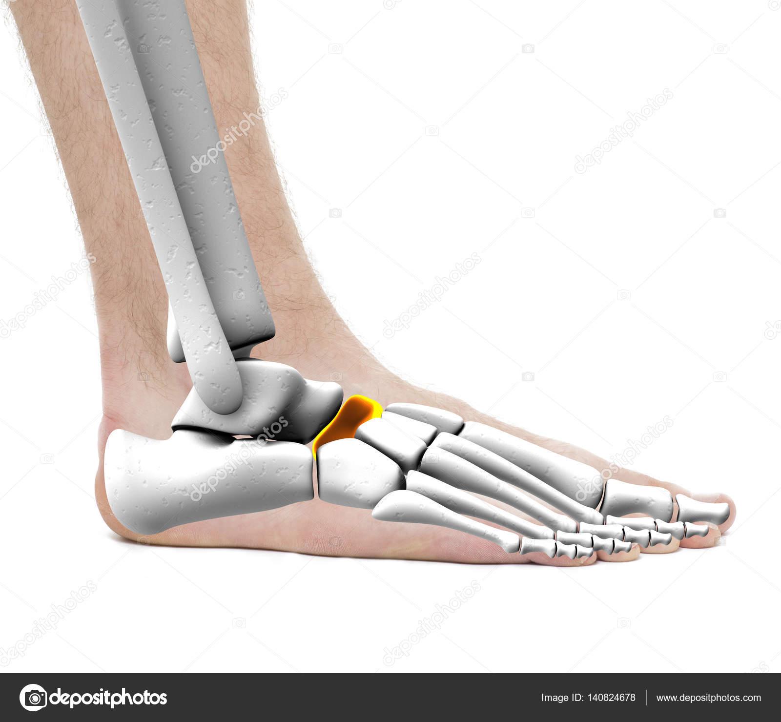Scaphoid Bone - Anatomy Male - Studio photo isolated on white ...