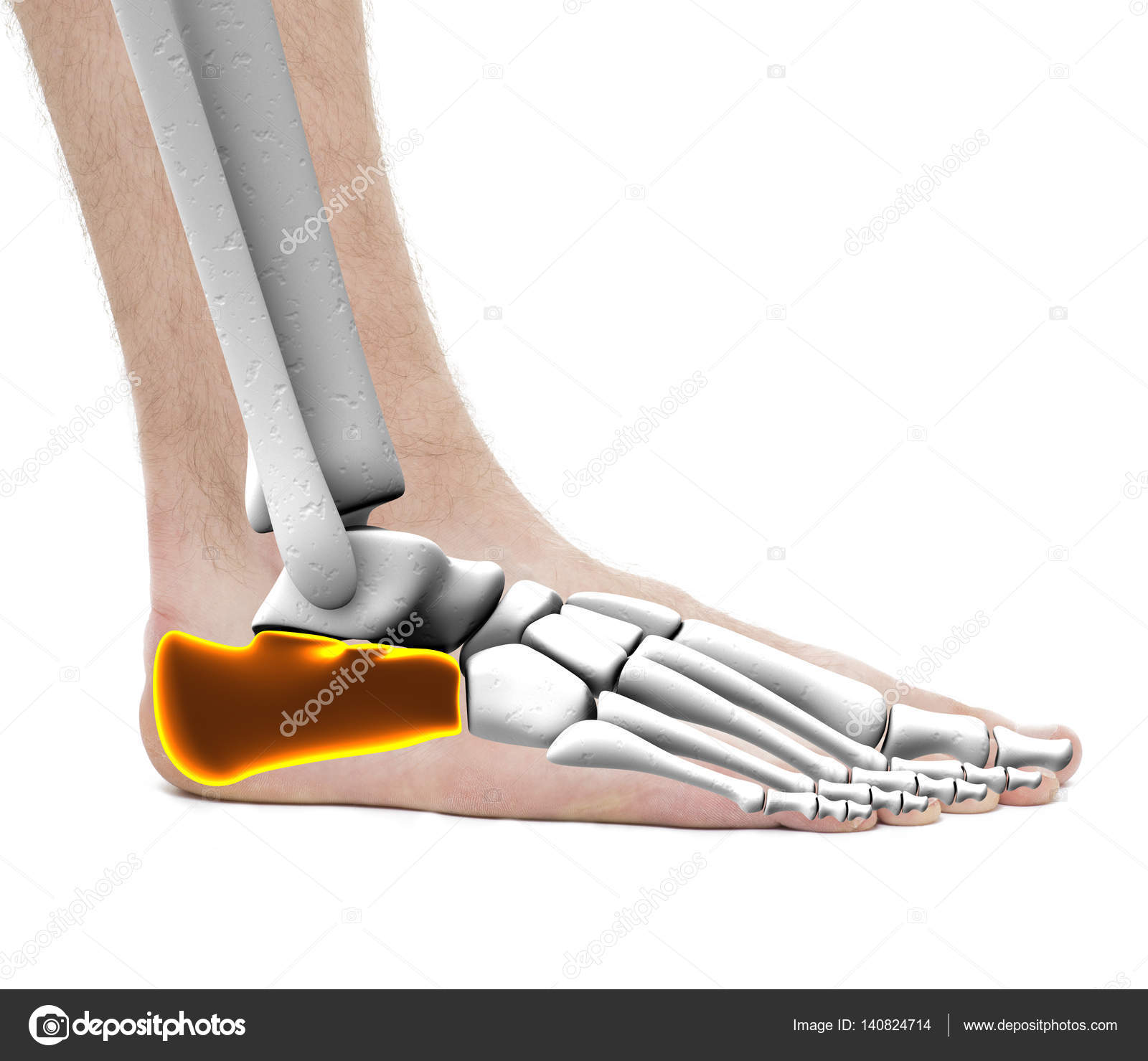 Calcaneus Heel Bone - Anatomy Male - Studio photo isolated on wh ...