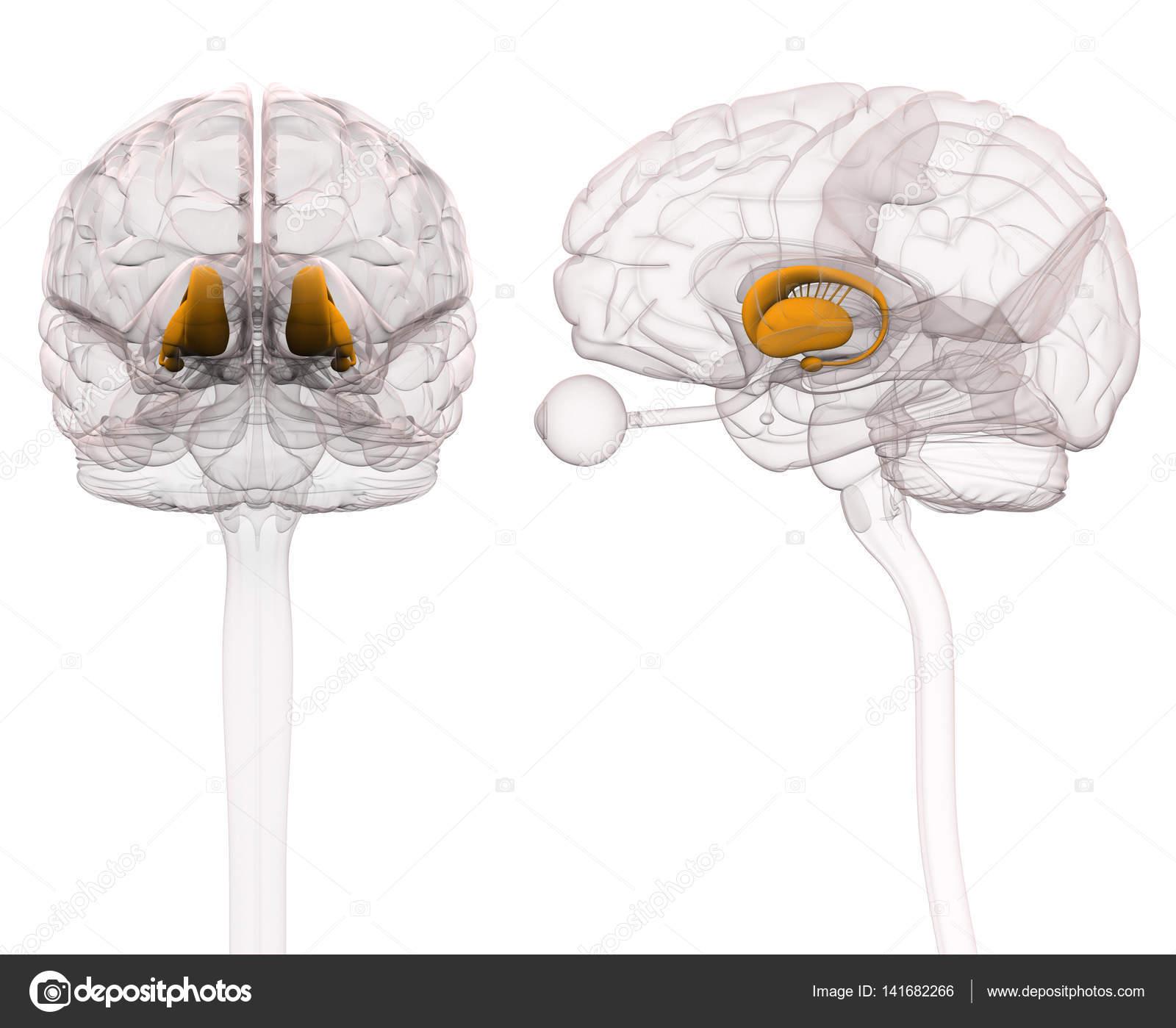 Basalganglien - Anatomie Gehirn - 3D-Illustration — Stockfoto ...