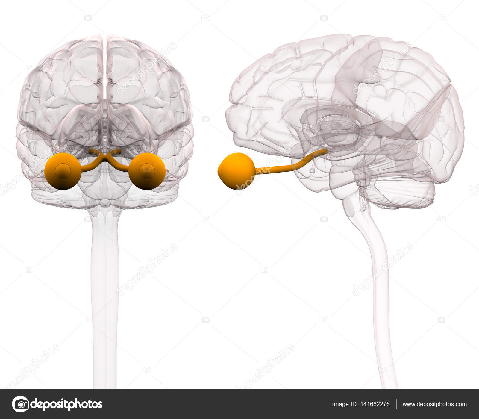 Optical Nerve Brain Anatomy - 3d illustration — Stock Photo ...