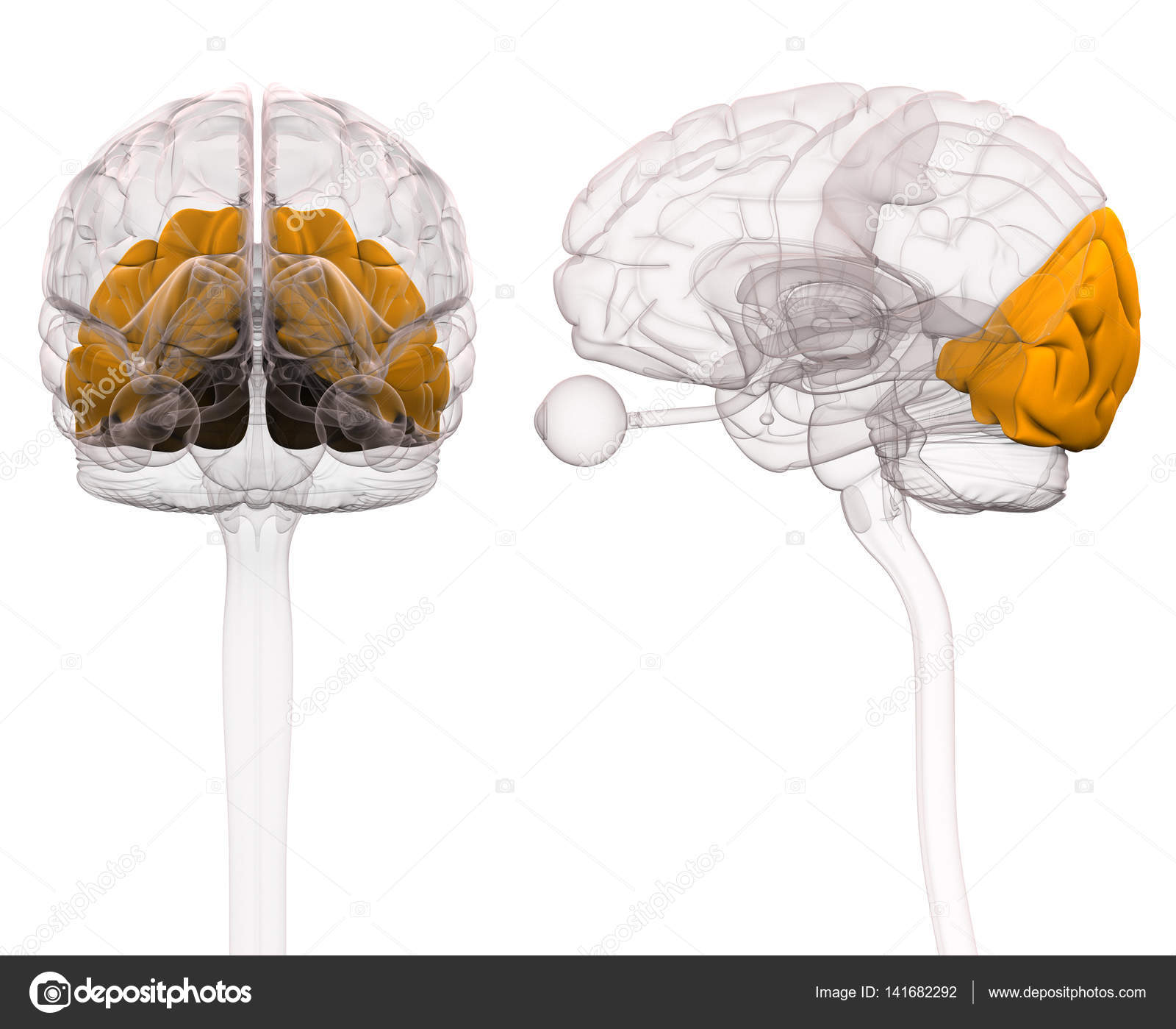 Okzipitale Anatomie des Gehirns - 3D-Illustration — Stockfoto ...