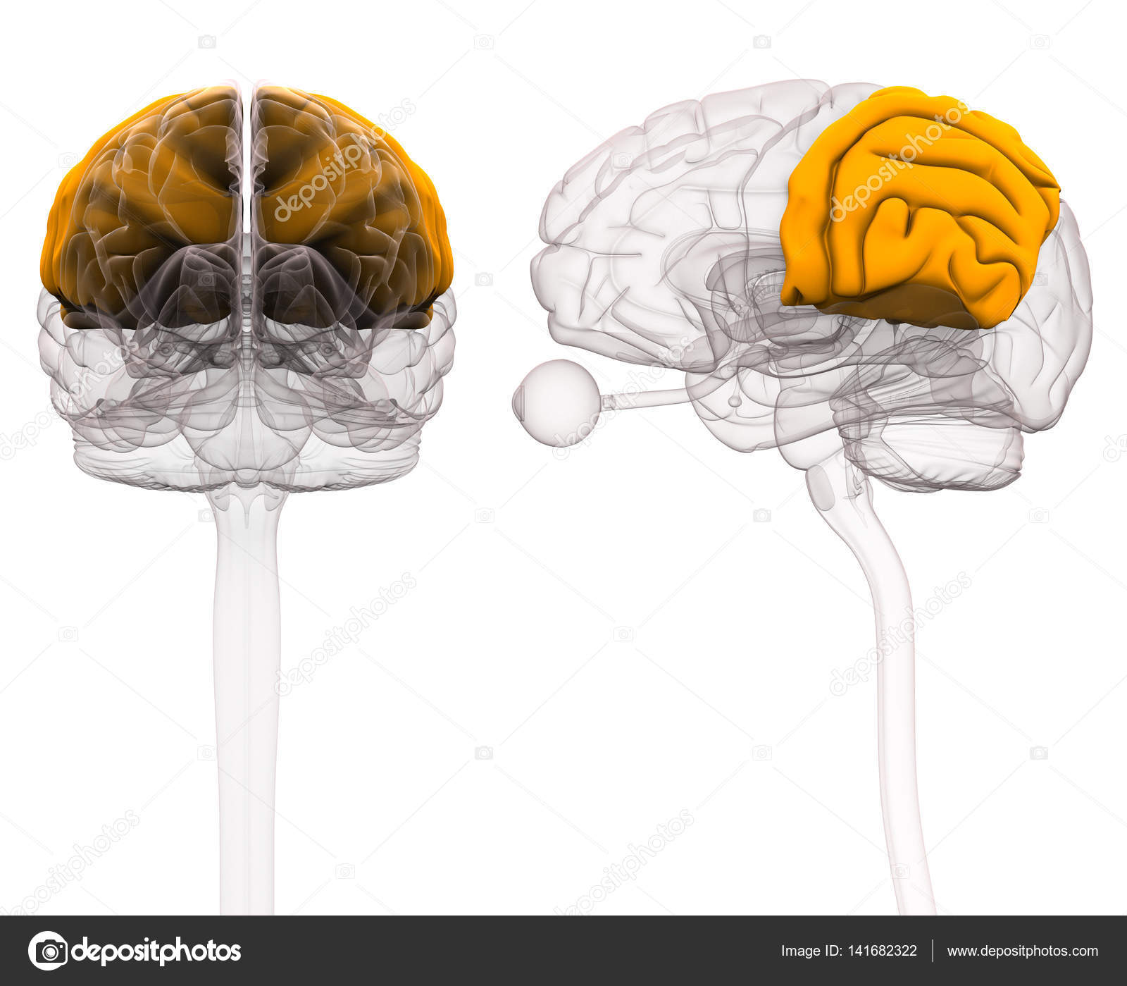 Parietal Brain Anatomy - 3d illustration — Stock Photo © decade3d ...