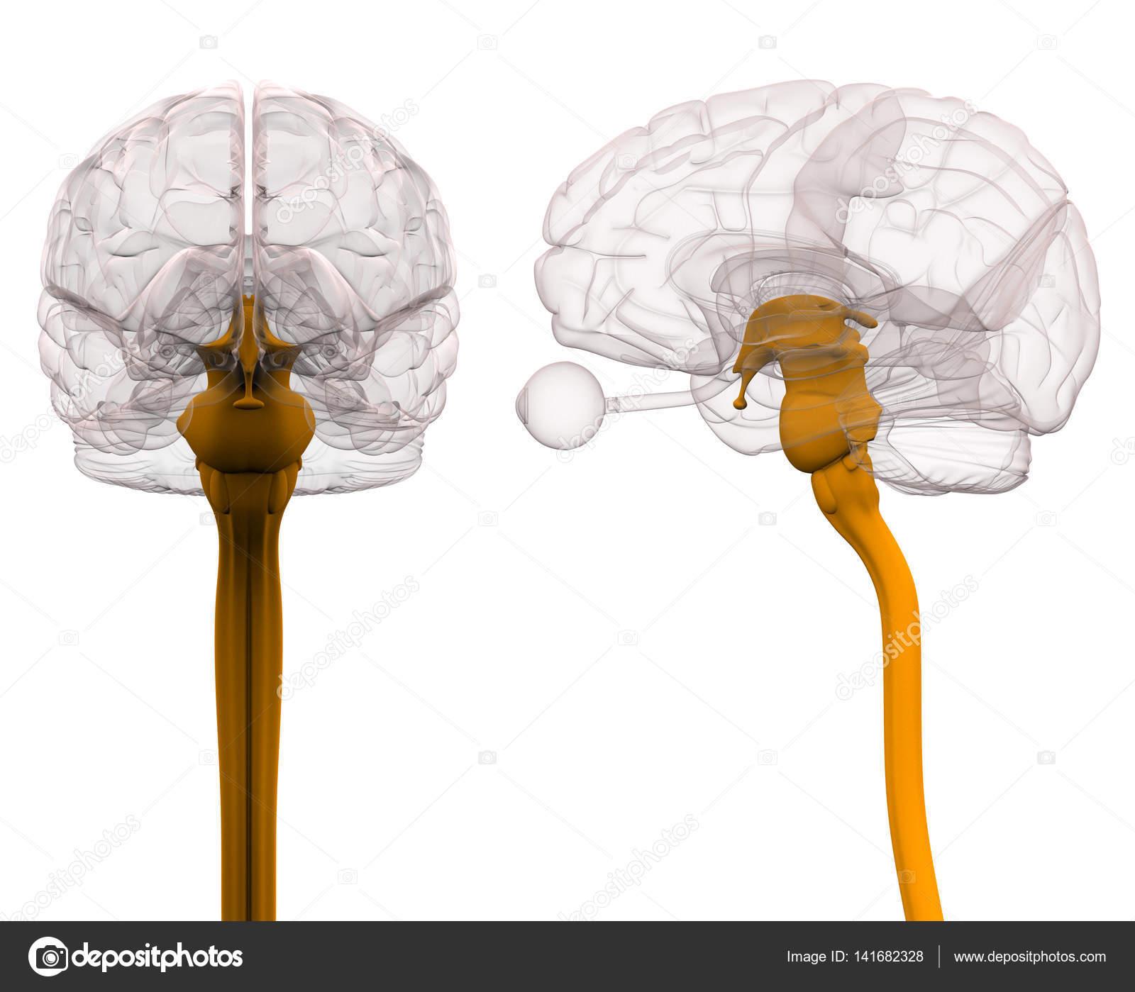 medula espinhal c233rebro anatomia ilustra231227o 3d � stock