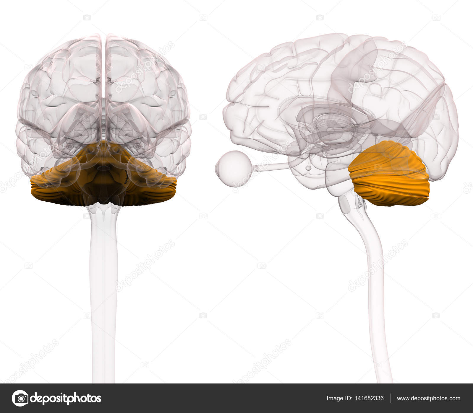 Anatomie des Gehirns Kleinhirn - 3D-Illustration — Stockfoto ...