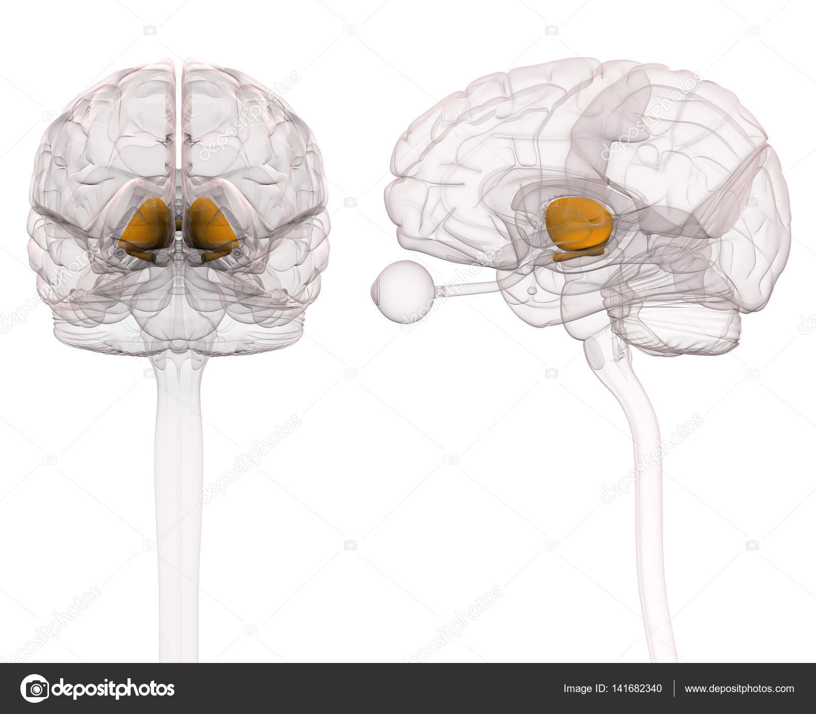 Thalamus Brain Anatomy — Stock Photo © decade3d #141682340