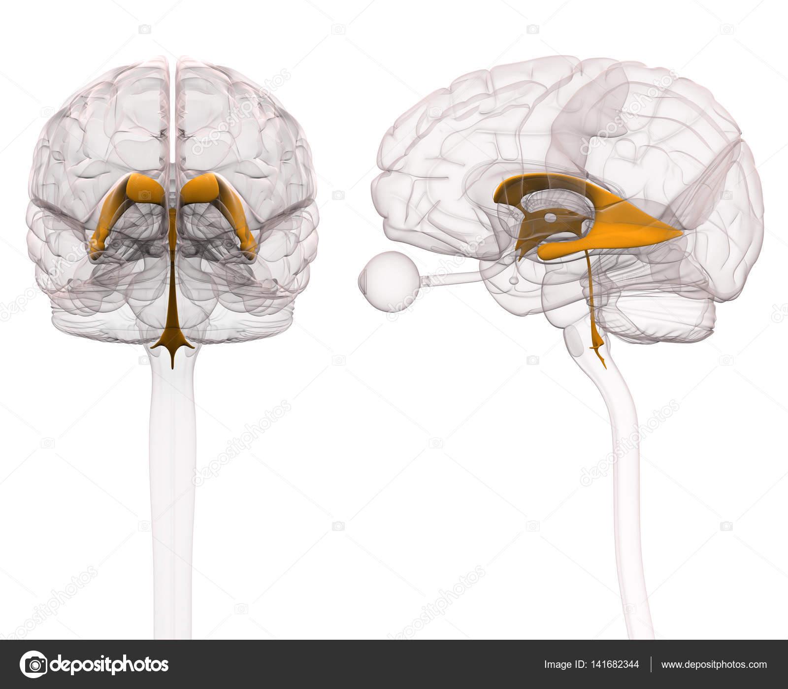 Ventrikels van anatomie van de hersenen — Stockfoto © decade3d ...