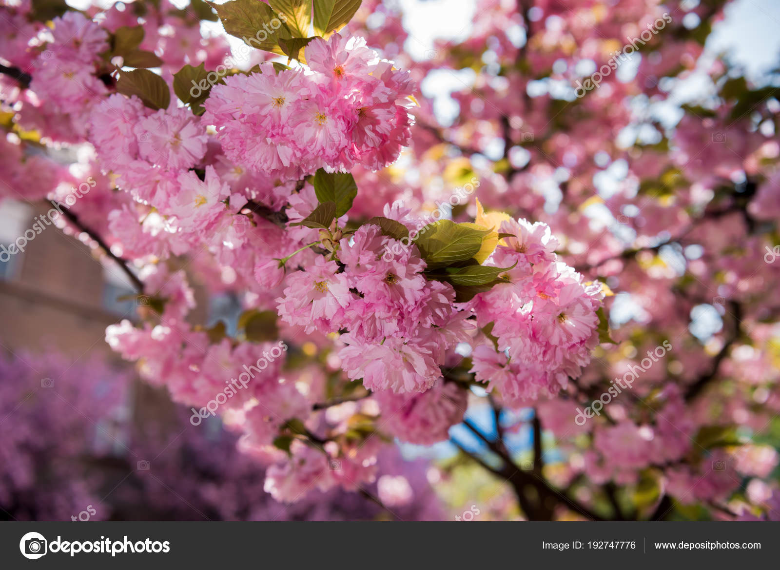 Pink Japanese Cherry Tree Blossom Sakura Stock Photo Vbaleha