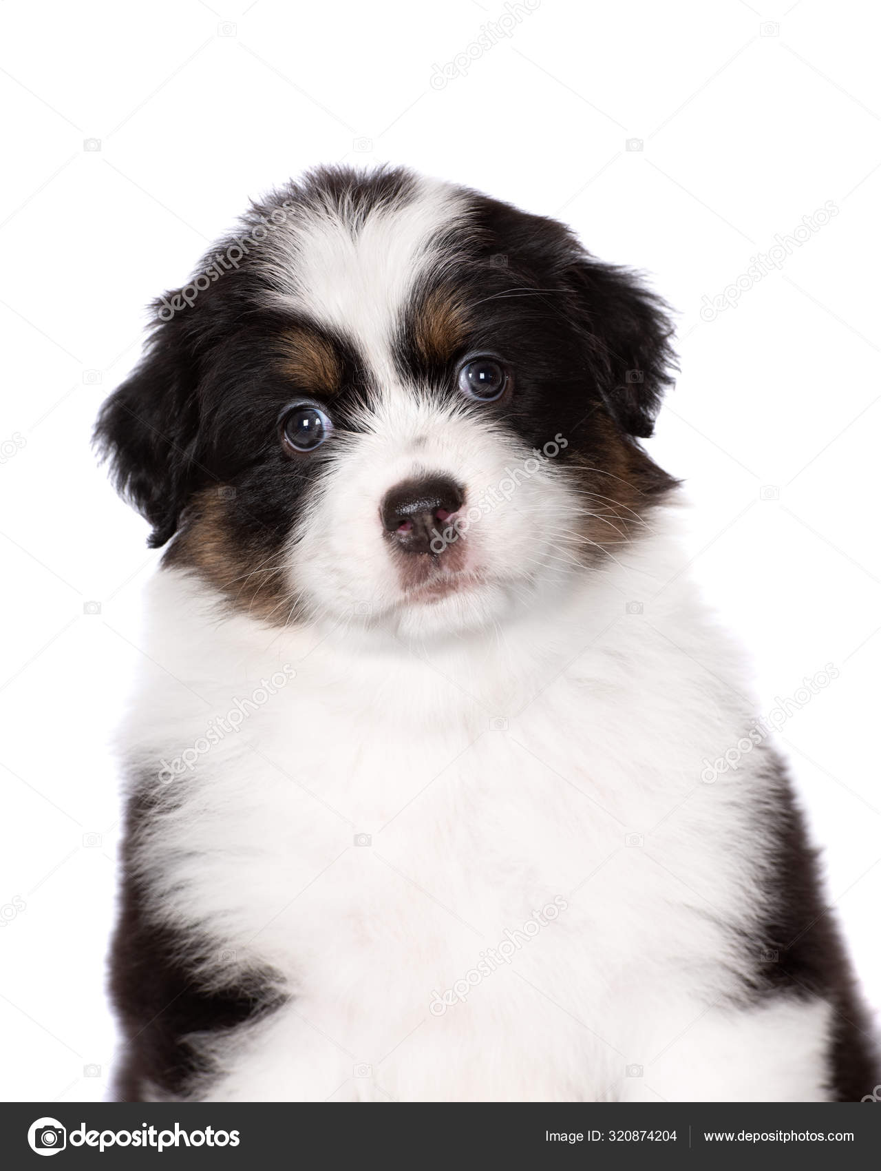 Tricolor Australian Shepherd Puppy Portrait White Background Stock Photo C Ots Photo 320874204
