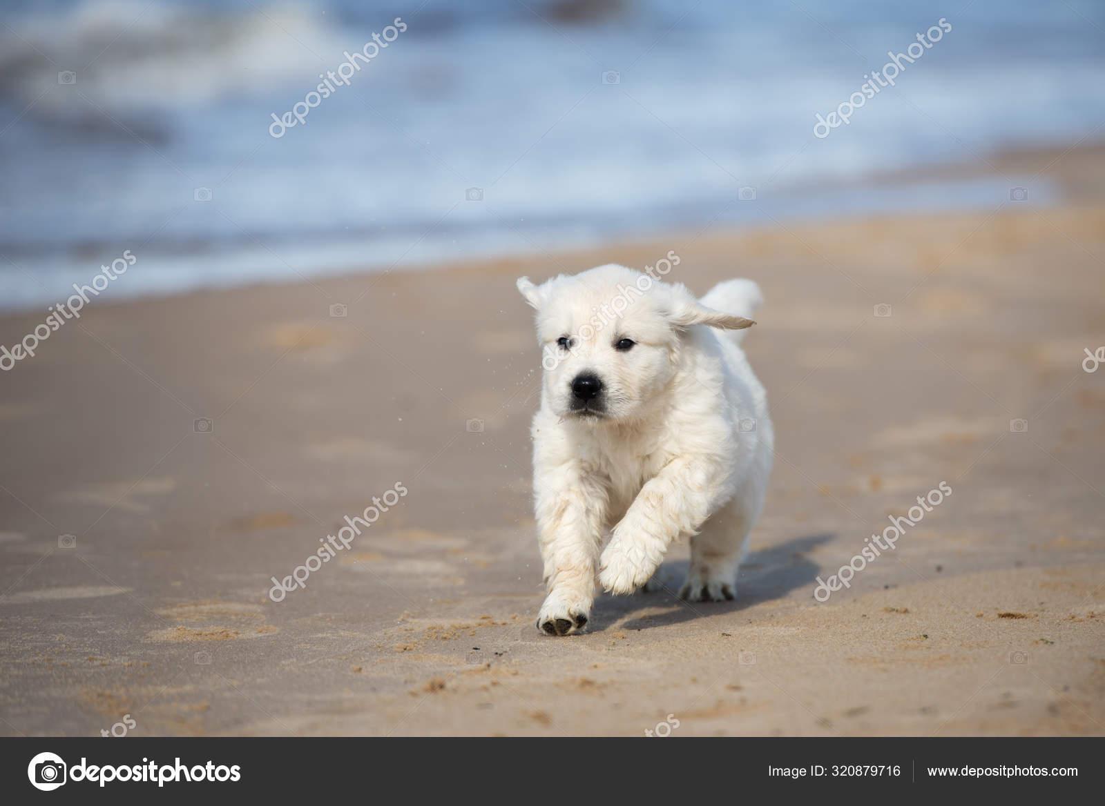 Happy Golden Retriever Puppy Walking Beach Sea Stock Photo C Ots Photo 320879716