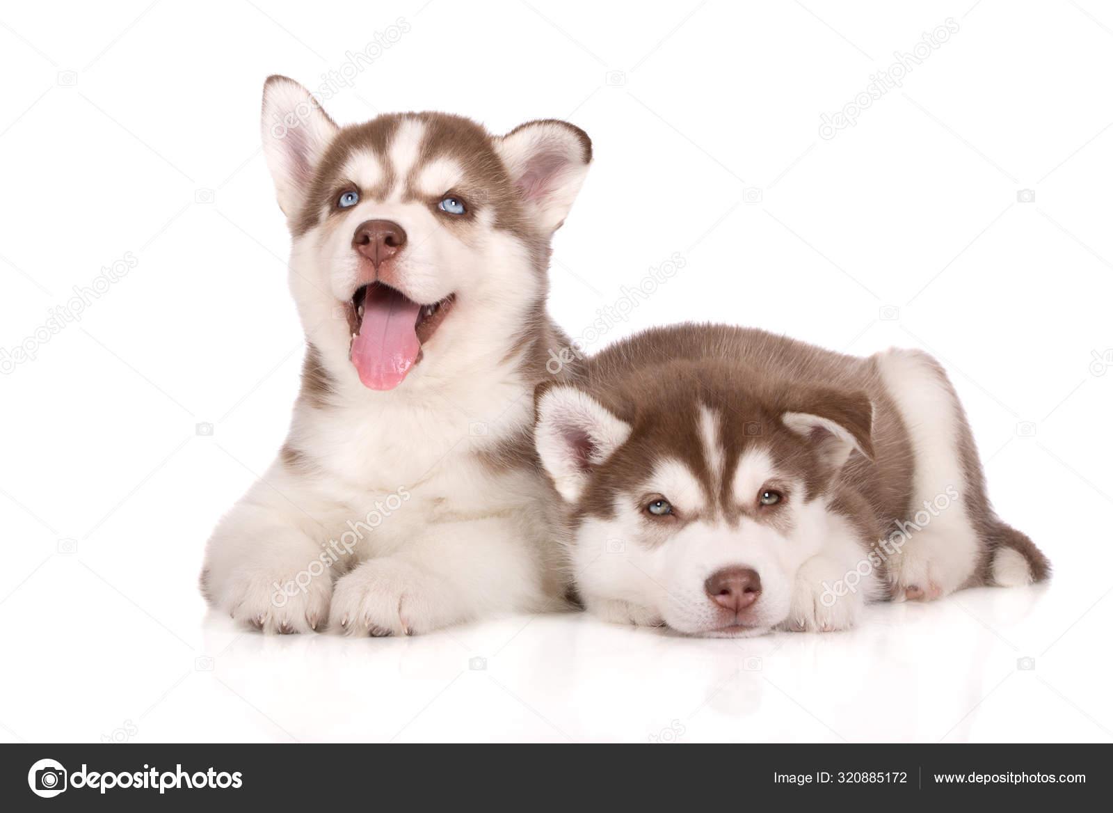 Two Brown Siberian Husky Puppies Posing White Background Stock Photo C Ots Photo 320885172