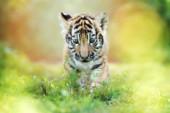 adorable tiger cub portrait on grass