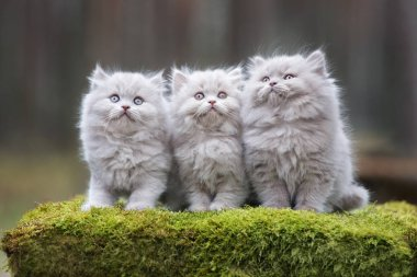 three fluffy kittens posing in the forest together