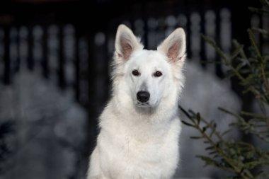 adorable white swiss shepherd dog portrait outdoors