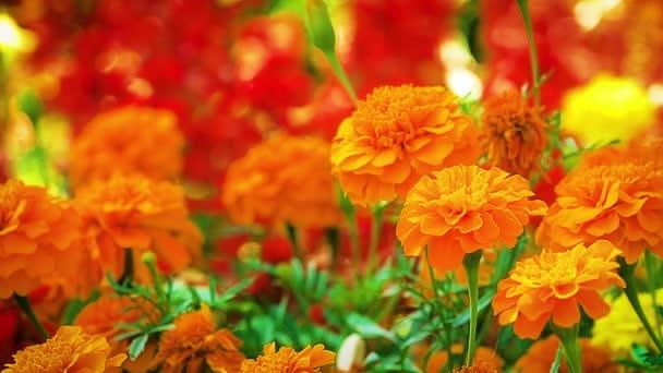 Marigold orange flower