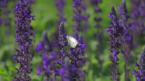 Motýl na šalvějových květinách