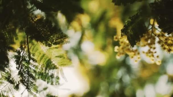 Detailní záběr kvetoucí mimózy. Žluté květy. První květy mimózy. Jarní květ. Sluneční světlo proniká listím a květy. Nastalo jaro. Mladé zelené listy a jemné květy.