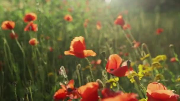 Jarní květiny. Detailní záběr kvetoucích červených máků. Krásné květiny na pozadí bujné jarní zeleně. Pole a lesní rostliny. Botanické procházky. Probouzející se povaha. Květiny se houpají ve větru.