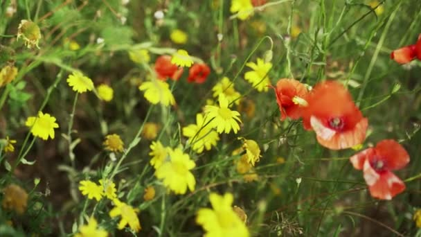Spring flowers. Close-up of blooming red poppies and yellow flowers. Beautiful flowers on a background of lush spring greens. Field and forest plants. Botanical walks. Flowers sway in the wind.