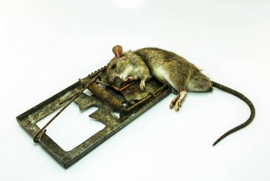 Dead rat in a dirty trap on white background