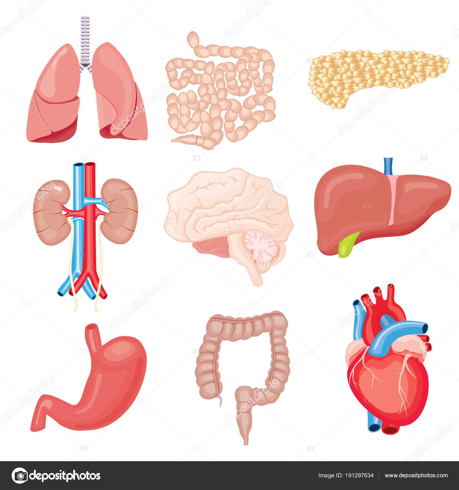 Human Internal Organs Isolated on White. Vector Illustration ...