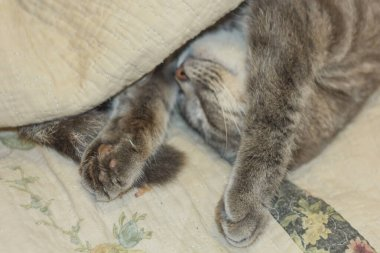 A cute gray cat peeks out from under the covers. Sleeps at home, relaxation, stratification, rumbling. View from above.
