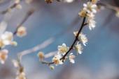 Květ švestkového květu Bílý strom