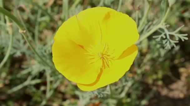 Detailní záběr žluté divoké květiny kymácející se ve větru.Žluté divoké květiny zblízka.