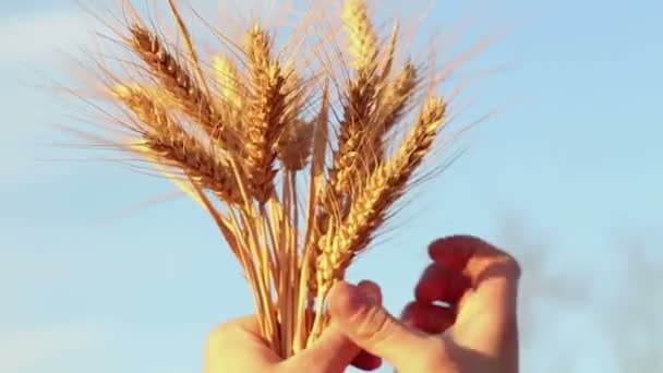 Farmer girl holds wheat spikelet in her hands. The spikelet of ripened wheat in the glare of the sun. Womans hands check the quality of spikelet wheat .An agronomist examines a wheat ear.