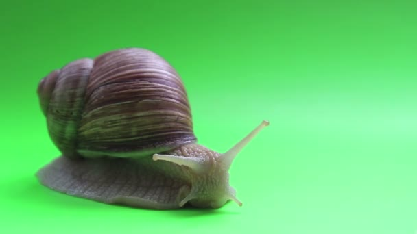 Close-up of a snail on a green screen. A snail moves on a green screen. Garden snail close-up on a green background.