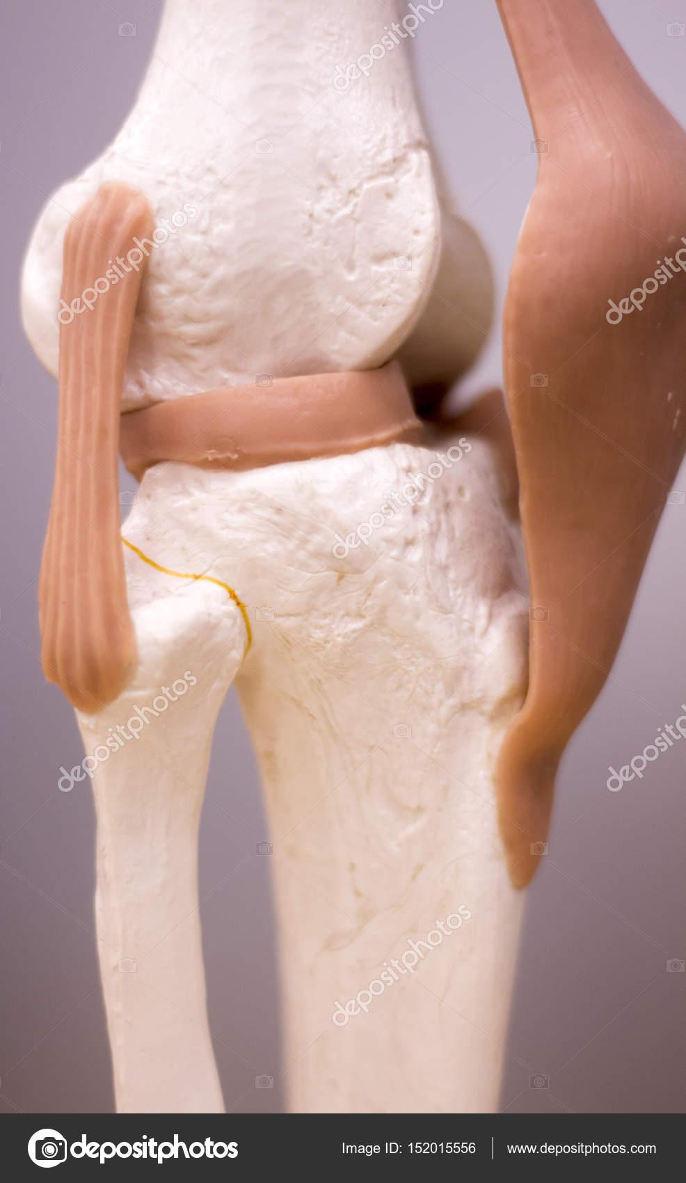 Knee Meniscus Medical Model Stock Photo Edwardolive 152015556