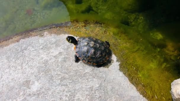water turtleon stone in pond.