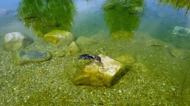 Dvě roztomilé vodní želvy v dekorativním rybníčku.